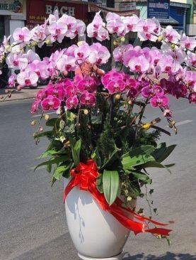 Lan Hồ Điệp Tím mẫu hoa được ưa chuộng nhất năm 2019