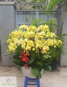 hình ảnh hoa lan hồ điệp vàng