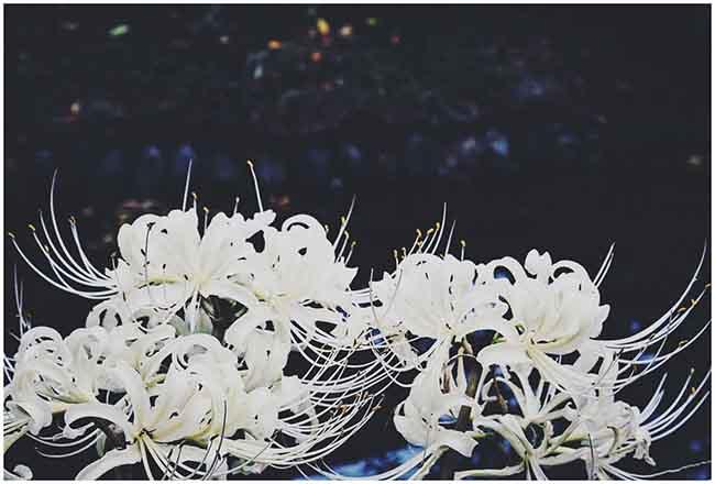 ý nghĩa hoa bỉ ngạn trắng