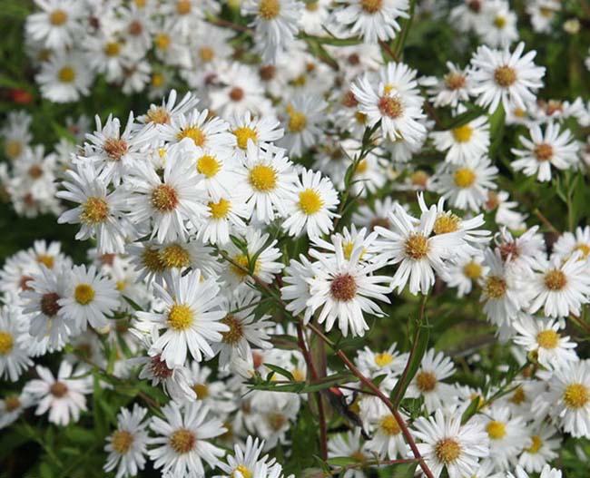 Ý nghĩa hoa thạch thảo trắng