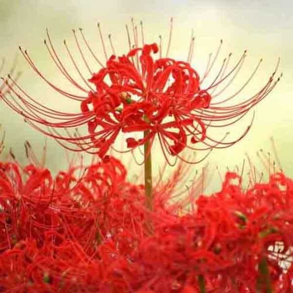 Ý Nghĩa Bỉ Ngạn Hoa Và Truyền Thuyết Cảm Động Về Loài Hoa Này