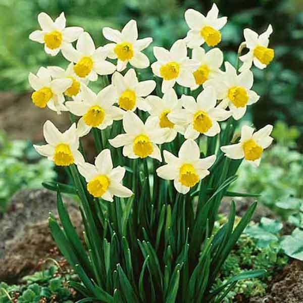Hoa Thủy Tiên Có Bao Nhiêu Màu? Ý nghĩa Hoa Theo Màu Sắc