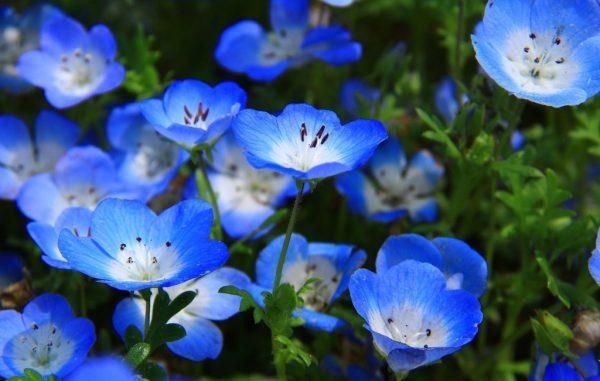Ý nghĩa hoa thủy tiên xanh