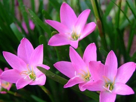 Ý nghĩa hoa thủy tiên tím