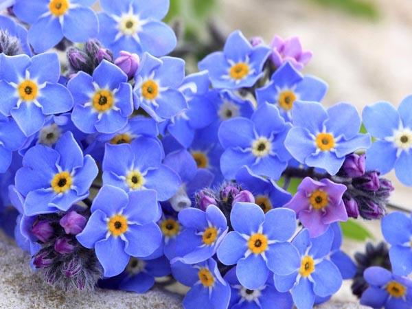 Ý nghĩa loài hoa tên lưu ly
