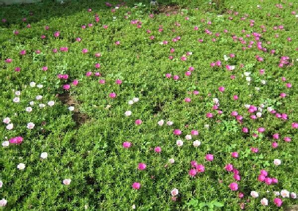 chọn đất trồng phù hợp cho hoa mười giờ