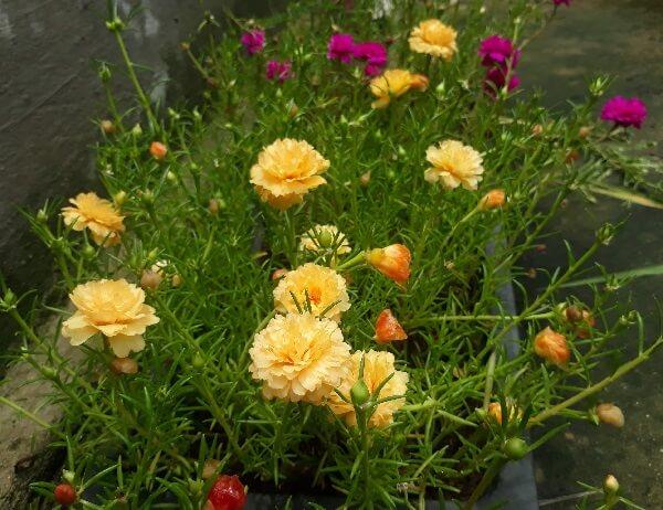 hình ảnh hoa mười giờ