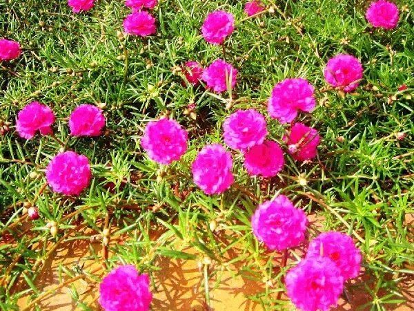 Bí quyết trồng hoa Mười Giờ trổ hoa đúng cách