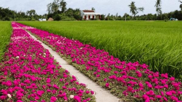 Con đường hoa mười giờ đẹp