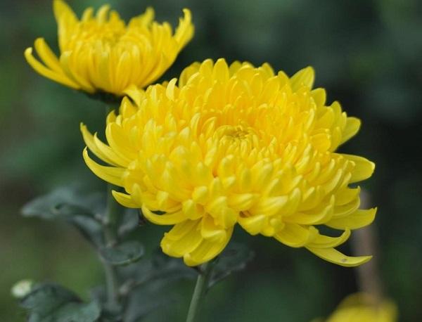 Cách Cắm Hoa Cúc Đơn Giản Tại Nhà Ngày Lễ Tết