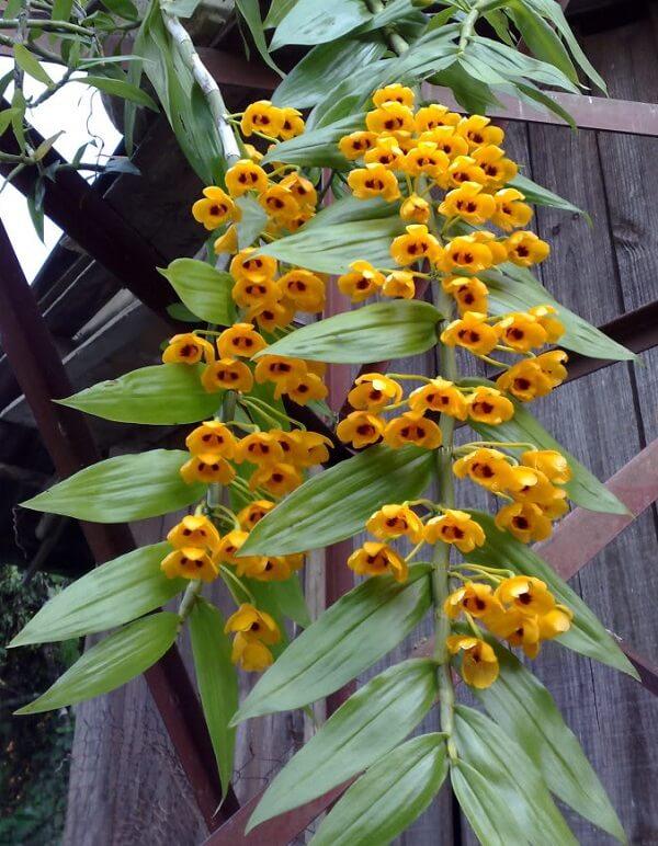 Hình ảnh hoa lan phi diệp