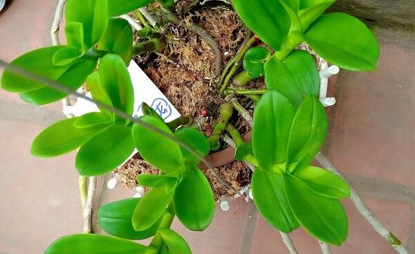 Lưu ý khi trồng giống lan phi điệp vào mùa nóng