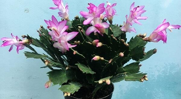 Trồng và chăm sóc hoa Tiểu Quỳnh