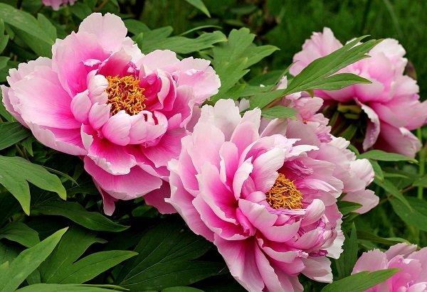 ý nghĩa hoa peony
